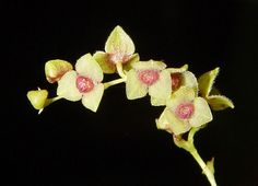 Stelis sp. - Flickr - Photo Sharing!