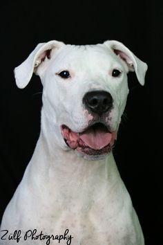 #dogoargentino Best dog ❤️ Mans Best Friend, Best Friends, Pitbulls, Animals, Jewel, Beat Friends, Bestfriends, Animales, Pit Bulls