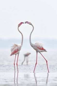 While foraging for food, sometimes Greater Flamingos get into mild altercation with their neighbours. This is one such moment when these two big guys bumped into each other. And when this happens, they both stand tall and bite each other's beak and continue to do what they were doing. While this is clearly a fight, the way they do this appears to be a romantic moment.