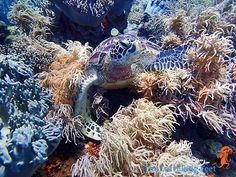 The Great Apo Island Freediving Adventure - Visayas, Underwater, Turtle, Shots, Sea, Island, Adventure, Travel, Animals