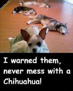 Don't Mess With A Chihuahua LOL I love it. This was my little princess. She chased a big white german shepherd down our driveway one day. LOL I was dying thinking she was a goner. NOPE!