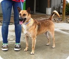 STILL AVAILABLE 8/5/16 ~ Lathrop, CA - Shepherd Mix. Meet ARCHIE, he is about 4 yrs old, good with kids and small dogs. He's available for adoption. http://www.adoptapet.com/pet/13140890-lathrop-california-shepherd-unknown-type-mix