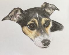 Troy, Rat terrier, my darling boy.