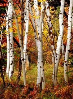 White fall birch trees with autumn leaves in background;
