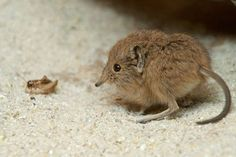 Another view of Tiny Elephant Shrew.... the cutest insectivore ever, or does hedgehog still have that on lock?