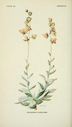 Echeveria nodulosa in Addisonia : colored illustrations and popular descriptions of plants, 1918