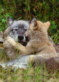 Your help is really needed to save the wolves! Demand that US Fish and Wildlife keeps wolf protected under Endangered Species Act and restores their protection in the Northern Rockies and North-East where they are being slaughtered.  Visit www.projectwolf.org for more info.