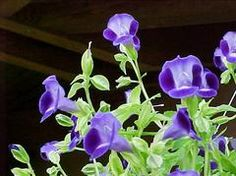 Torenia, wishbone flower, shade/part shade, purple flowers June-frost Container Design, Container Plants, Container Gardening, All Flowers, Purple Flowers, Outdoor Plants, Outdoor Gardens, Shade Annuals, Foliage Plants