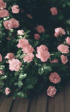 цветок, гранж, инди, природа, розовый, роза