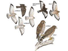Hawk Identification   Illustration: Broad-winged hawk