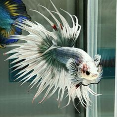 808 Green butterfly CT male from Ake_betta