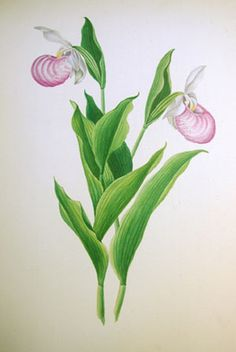 Pink white lady slipper minnesota state flower flowers flowers minnesota lady slipper flower botantical drawing google search mightylinksfo