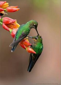 Two hummers grooming.