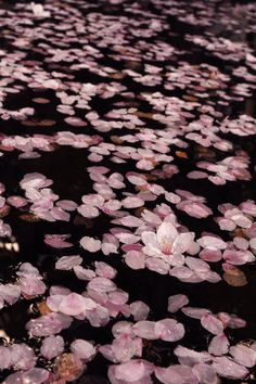Release Lotus flowers into the water . Symbolising hope and love Aesthetic Japan, Pink Aesthetic, Sakura Festival Japan, Blossom Flower, Cherry Blossom, Flowers Nature, Lotus Flowers, Photo Wall Collage, Amazing Nature