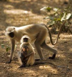 Cute family of Indian monkeys.   Natural Mystic.   Photographer: Homi Adajania.