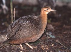 Red-winged Tinamou (Rhynchotus rufescens)