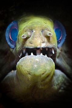 Blue-Eyed Eel night time nasty cant go back to sleep ever again kind of thing! Underwater Creatures, Underwater Life, Underwater Photos, Underwater Photography, Deep Sea Creatures, Weird Creatures, Fauna Marina, Sea And Ocean, Sea World