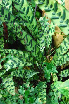 calathea rufibarba pflanze f r schattigen standort mag absolut keine sonne pflanzen. Black Bedroom Furniture Sets. Home Design Ideas