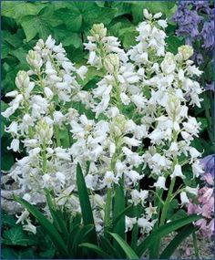 Hyacinthoides hispanica White City - Scilla - Hyacinthoides - Flower Bulbs Index