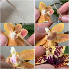 Growing Orchids from Seed (Flasking Dry Seeds & Green Pods) » Here But Not