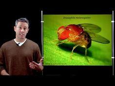 Online Developmental Biology: Introduction to Drosophila - YouTube