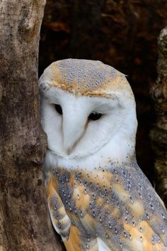 A barn owl can eat up to mice each year, and many farmers try to attract barn owls to help control rodent populations in agricultural fields. South Sound Critter Care has rescued many of these owls. Beautiful Owl, Animals Beautiful, Cute Animals, Owl Photos, Owl Pictures, Rapace Diurne, Wise Owl, Owl Bird, Mundo Animal