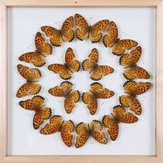 Exotic Butterflies Mounted in a Glass Frame | No.12-010