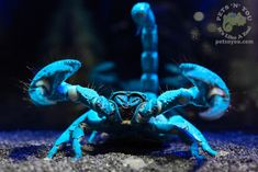 An Emperor Scorpion glowing under Ultra Violet Light. Normally this species is all Black when viewed under normal lighting.