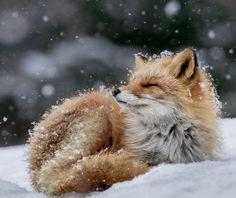 "beautiful-wildlife: "" Bathing in Snow Flakes by © Hiroki Inoue """
