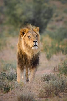 Kgalagadi Lion - Final day drive in the Kgalagadi from the Rooiputs Campsite…  | Lee Bothma on 500px