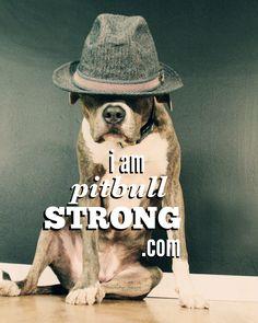 #foster #pitbull #adopt #rescue #shelter #dog #love #iampitbullstrong #macthepitbull #rockstar #fedora