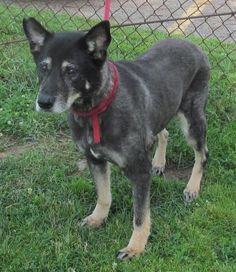 Adopted****11/10/15Meet 03 Brandy, a Petfinder adoptable Shepherd Dog | Canton, OH | Release date 6/8,  $ 86.00 fee includes OH license, DA2PP, Bordetella vaccine, Hw testing, Worming...