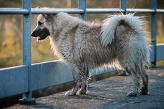 Small Puppies, Small Dogs, Icelandic Sheepdog, Small Dog Breeds, Horses, Pets, Animals, Iceland, Pet Dogs