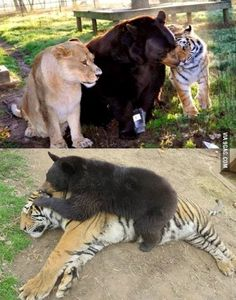 A Lion, a Tiger and a Bear this three have been friends and living together for 12 years. - 9GAG Unusual Animal Friendships, Unlikely Animal Friends, Unusual Animals, Animals Beautiful, Animals And Pets, Baby Animals, Funny Animals, Cute Animals, Amor Animal