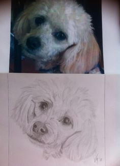 D'Arcy, apricot poodle, sketched by Vicki McClure (Pampered Portraits) ....acrylic on canvas to follow soon !!!