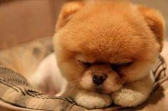 Maak kennis met Boo, de schattigste hond ter wereld - Nieuws - VK