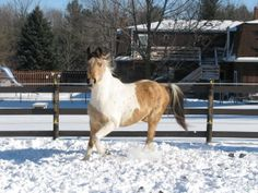 Buckskin paint horse/ spotted saddle/ horse in the snow