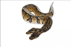 Two-Headed Royal Python