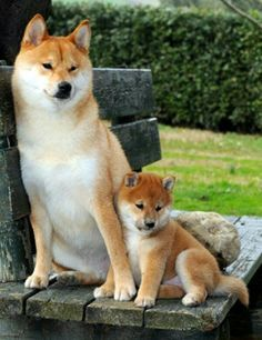 shiba inus resting mommie and baby