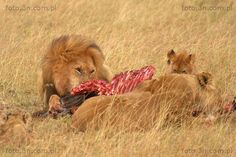 Lions (Africa,  Kenya,  lion,  hunting,  carcass,  savannah) photos. Online sale of photos for graphic projects, calendars, postcards, wallpapers, Internet, etc.