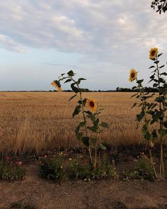 those ugly sunflowers by the side of the road. Erde Tattoo, Watercolor Wall, Fuerza Natural, Sainte Claire, Nature Aesthetic, Mellow Yellow, Aesthetic Pictures, Farm Life, Country Life
