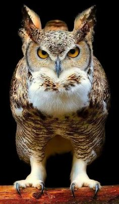 is a large, extremely adaptable bird with a vast range. It's the most widely distributed true owl in the Americas. Beautiful Owl, Animals Beautiful, Cute Animals, Owl Photos, Owl Pictures, Exotic Birds, Colorful Birds, Nocturnal Birds, Great Horned Owl