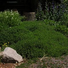 Creeping Germander: Creeping Germander has dark evergreen leaves on small woody plant; makes excellent ground cover for sun or part-shade. Tiny lavender flowers mid-summer.