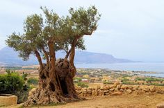L'olivo sarraceno