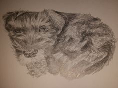 Miniature schnauzer puppy #sketch #pencil