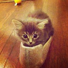 The #kittensofinstagram kitten of the day is @babybunstagram 😻❤ #cute #adorable #kitten #baby #cat #pets #dog #animal