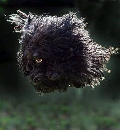 The Hungarian Puli dog - Tiere - Dogs Mop Dog, Dog Cat, Pet Puppy, Vizsla, All Dogs, Dogs And Puppies, Doggies, Hungarian Puli, Puli Dog