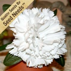 "50 Seeds, Carnation ""White"" (Dianthus caryophyllus) Seeds By Seed Needs by Seed Needs: Flowers. $2.65. Great choice of flower for a great scent. Carnations attract humming birds, butterflies, & other beneficial insects. Easy planting instructions along with a colorful picture printed on each ""Seed Needs"" packet!. Quality Carnation seeds packaged by ""Seed Needs"". Prefers an area of full sunlight. Keep soil moist until germination. This Carnation flower grows to a mature heigh..."