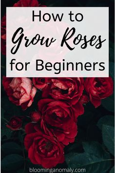 Learn all about rose care for beginners, no matter what type of rose you want to grow. Learn to grow all kinds of roses, such as hybrid tea, and miniature roses. Click on the pin for more information on rose care. #growroses #rosecare #roses #flowers #gardening Beautiful Flowers Garden, Amazing Flowers, Gardening For Beginners, Gardening Tips, Floribunda Roses, Rose Care, Types Of Roses, Hybrid Tea Roses, Growing Roses