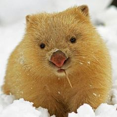 Wombat........he's so cute!!! Even with a toothpick haggin out his mouth. He's cool for sure!!